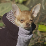 tan chiwawa in sweater