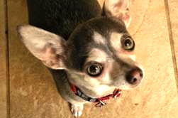 Pros and Cons of Chihuahua Adoption -