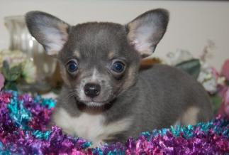The Rare Blue Chihuahua -