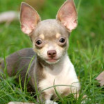 blue and tan chihuhua puppy