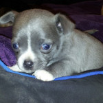 blue chihuahua with blue eyes